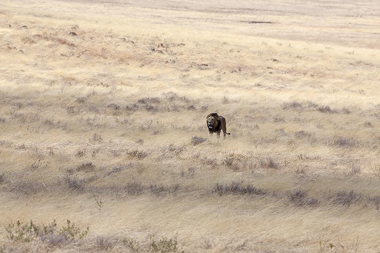 Advancing Lion in Ngorongoro Crater, Tanzania