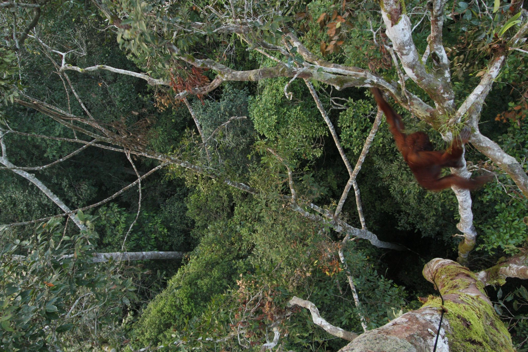 Sequence of photos from remote camera of Jumi, adult female, climbing down from Chaetocarpus tree (Chaetocarpus sp.) Bornean Orangutan  Wurmbii Sub-species (Pongo pygmaeus wurmbii) Gunung Palung Orangutan Project Cabang Panti Research Station Gunung Palung National Park West Kalimantan Province Island of Borneo Indonesia
