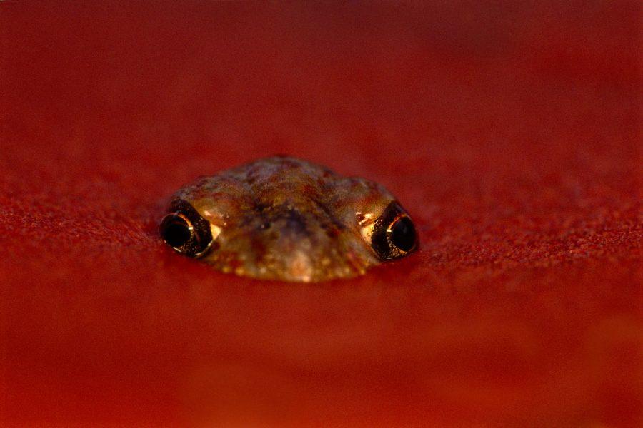 Desert spadefoot frog emerging from sand, Central Australia