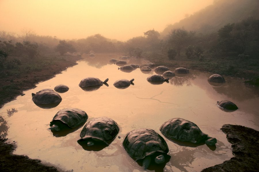 Giant tortoises in pond, Galapagos Islands