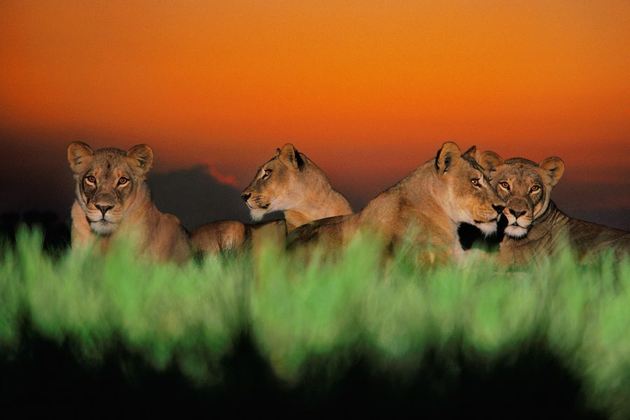 Lionesses at twilight, Chobe National Park, Botswana