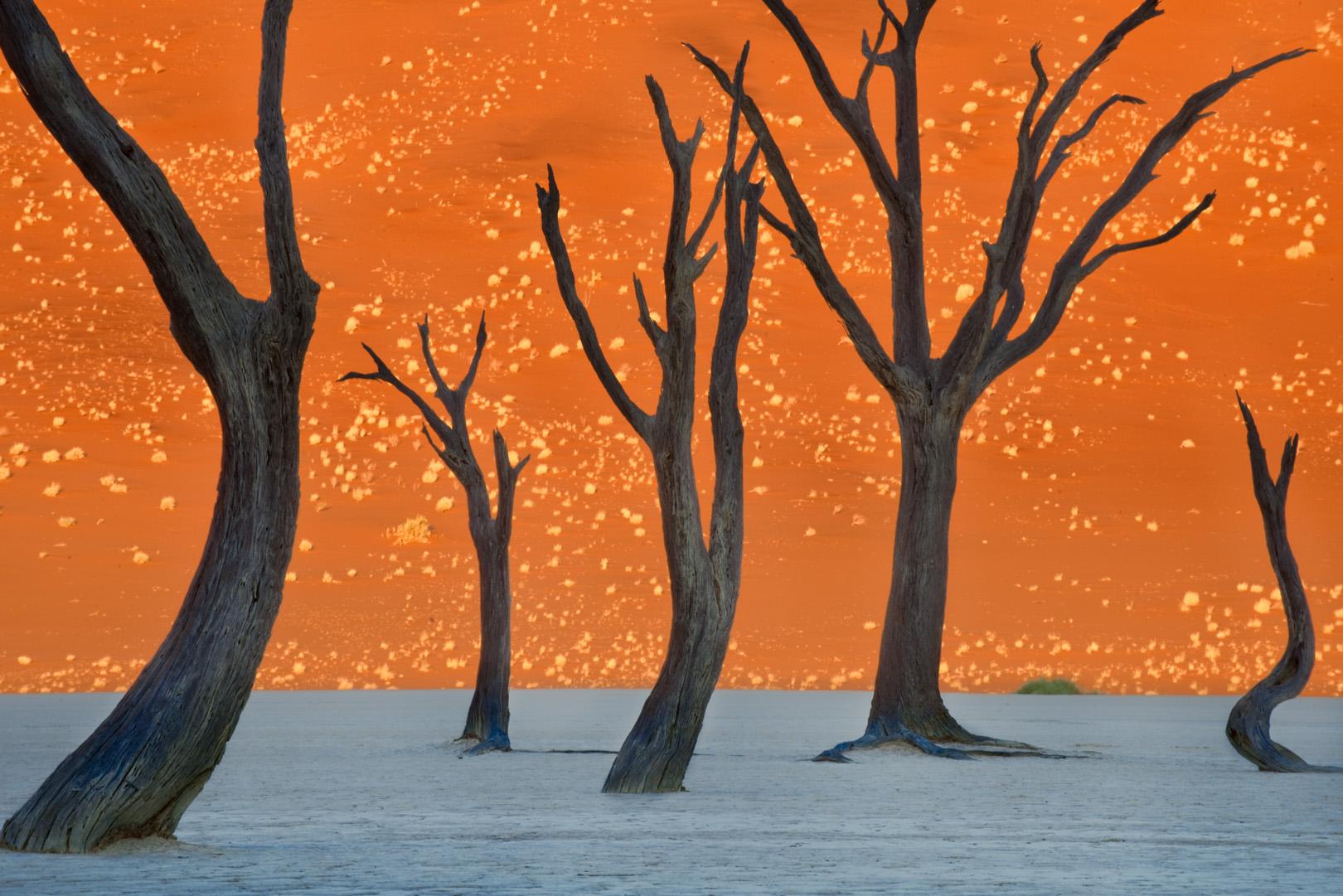 Dead camelthorn trees, Sossusvlei, Namib-Naukluft National Park, Namibia